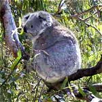 Koala Conservation Centre - Accommodation Rockhampton