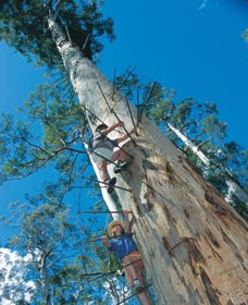 Dave Evans Bicentennial Tree - Accommodation Rockhampton