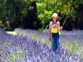 Brayfield Park Lavender Farm - Accommodation Rockhampton