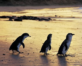 Phillip Island Nature Park - Accommodation Rockhampton