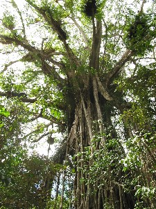 Cathedral Fig Tree - Accommodation Rockhampton