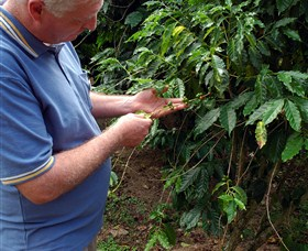 Wombah Coffee Plantation - Accommodation Rockhampton
