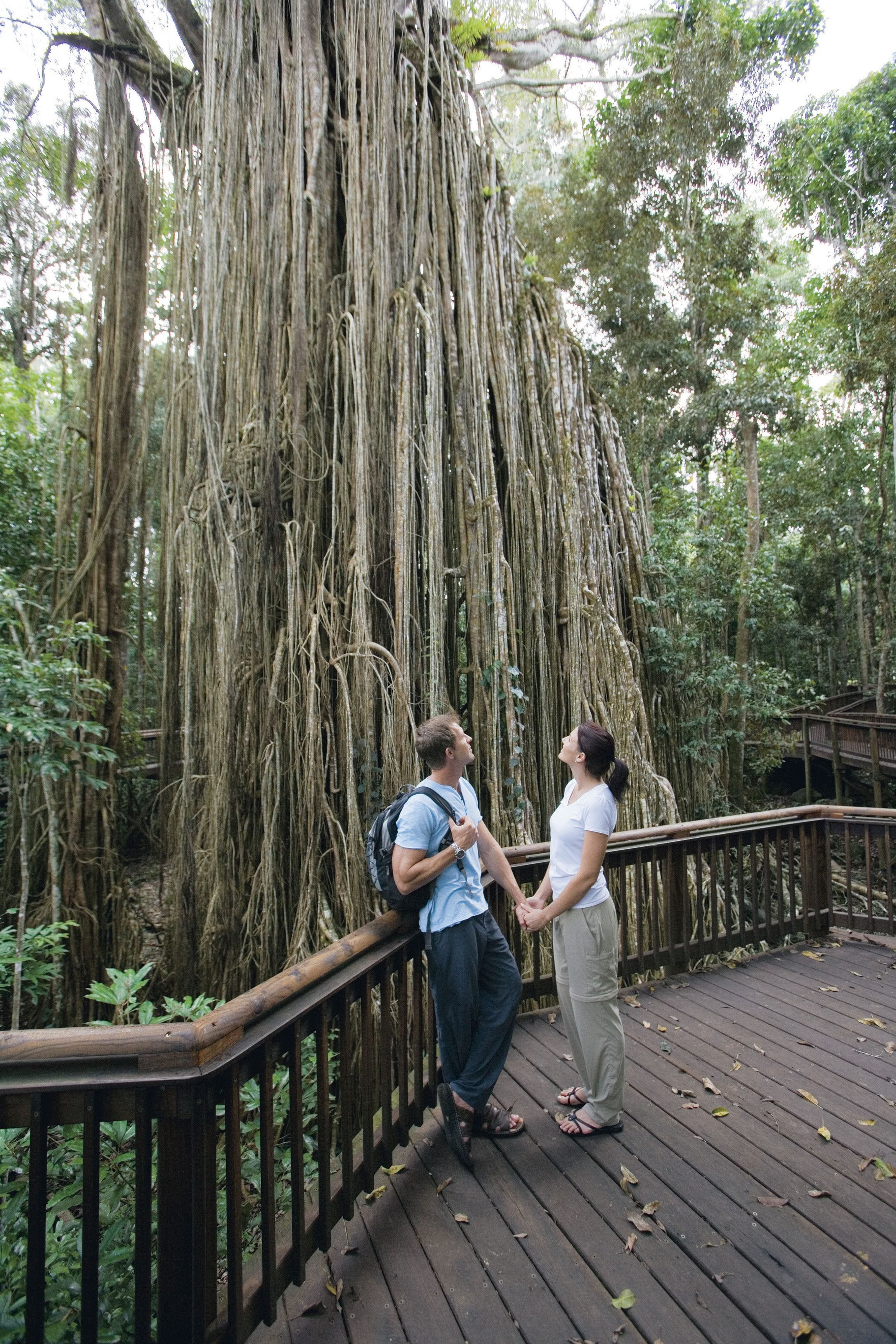 Curtain Fig Tree Yungaburra - Accommodation Rockhampton