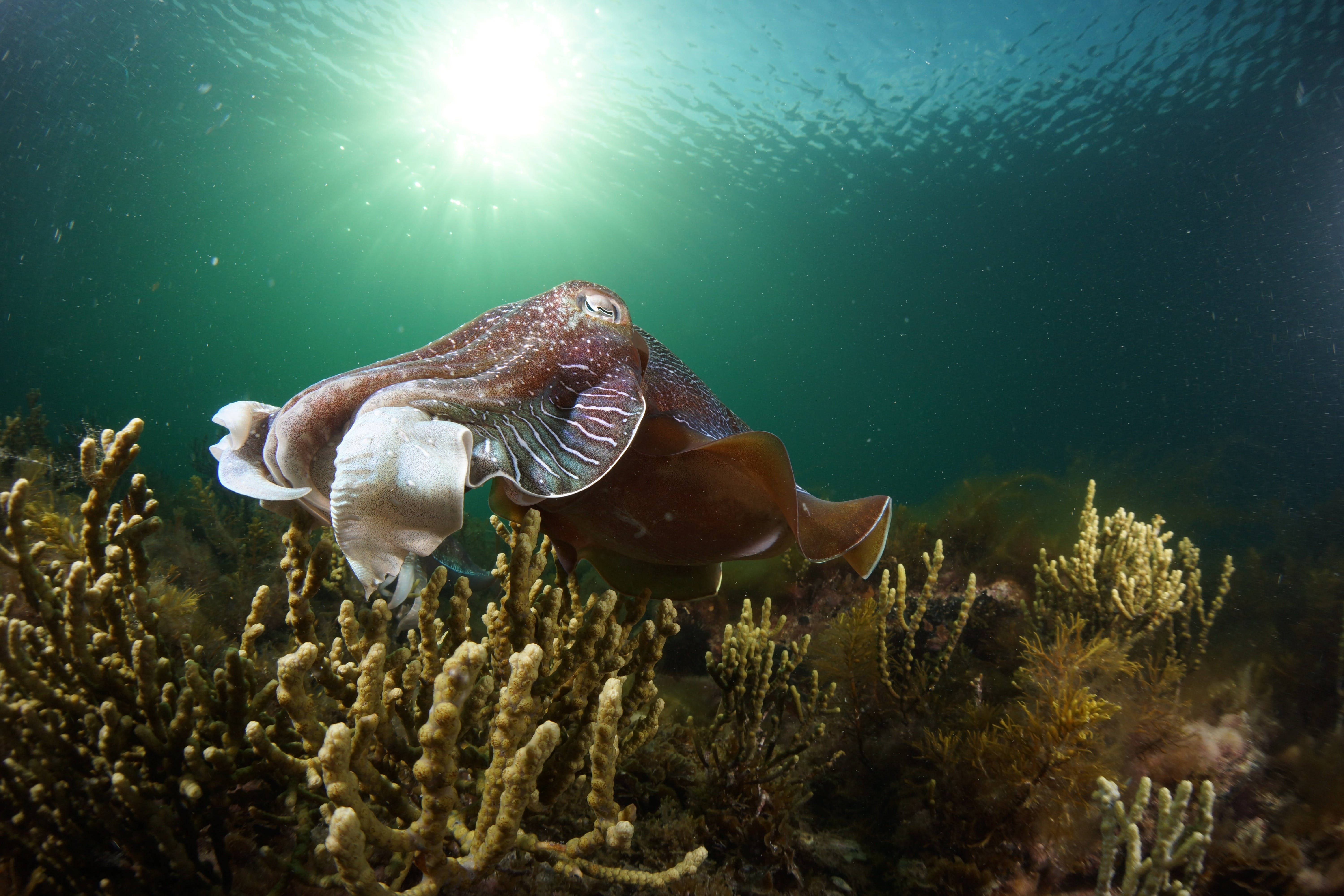 Cuttlefish Diving  Snorkeling EVERYDAY May -August - Accommodation Rockhampton